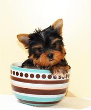 Two healthy teacup yorkies ready to join forever homes
