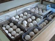 African Grey Parrots  and Eggs for Sale.