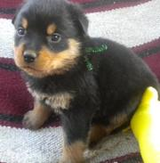 Outstanding Rottweiler Puppies For Sale