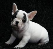Outstanding French Bulldog puppies for sale