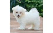 Home Raise Maltese Puppies For Adoption