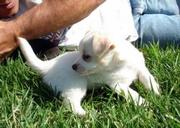Well trained and Healthy chihuahua puppies for sale