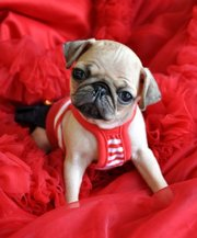 Adoriable Little Pug Puppies for adoption