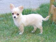 Cute Chihuahua Puppies Now Available For Home Sale