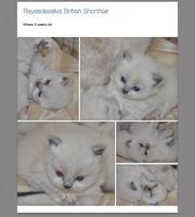 British Shorthair Kittens GCCFI registered