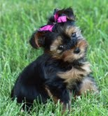 Cute Yorkie puppies for X-Mas