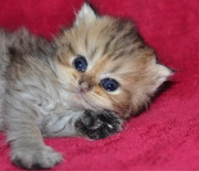 GOLDEN Exotic Longhair kittens