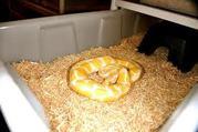 Albino and Piebald Ball Pythons sale