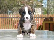 Mavelouse Boxer Puppy For New Home Sale
