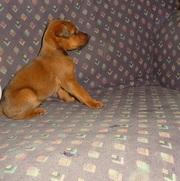 Cute Irish Terrier puppies for free adoption