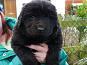 Newfoundland Pedigree Puppies For Sale