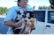 3 months,  blue eyes husky puppies.