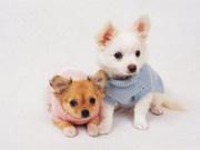 Charming Chihuahua Puppies Ready