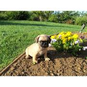 healthy Pug puppies for sale