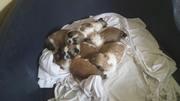 shih tzu puppys for sale