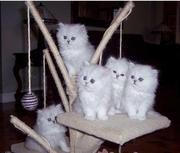 JakoMish Persian kittens ready