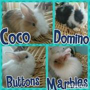 Lionhead bunnies