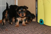 Beautiful CKC REGISTERED YORKSHIRE TERRIER PUPS
