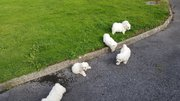 five Bichon Frise puppies for sale in galway
