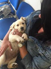 Labrador Puppy Snow white male