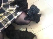 Poodle/terrier cross