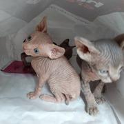 7 sphynx kittens for sale