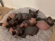 Sphynx kittens looking for their forever homes.